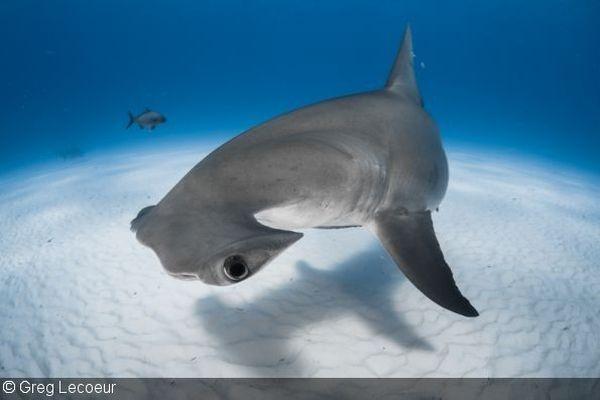 Le regard d'un requin marteau croisé aux Bahamas.