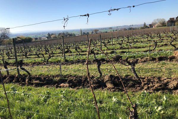 A Saulcet, dans l'Allier, le gel n'a pas épargné le vignoble de Saint-Pourçain.