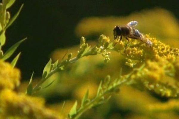 Une année calamiteuse pour les abeilles