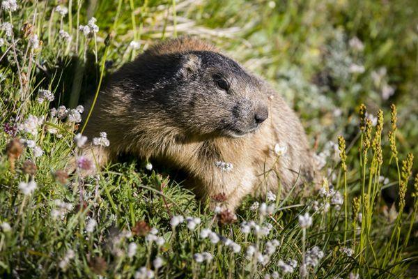 La chasse à la marmotte est autorisée dans les Alpes, pendant quelques semaines de septembre à novembre. Photo d'illustration.