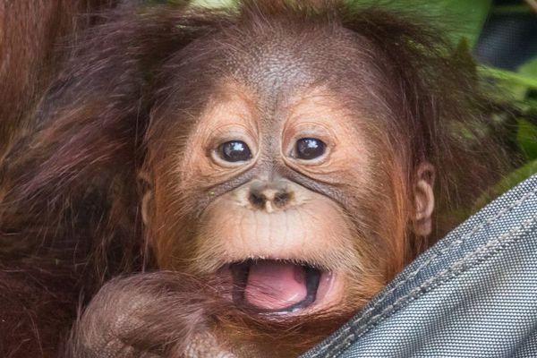 Sungai, 9 mois, est mort jeudi soir dans le parc animalier de Brugelette.