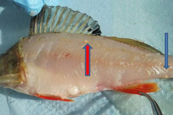 Perche fluviatile infestée par le parasite Clinostomum complanatum