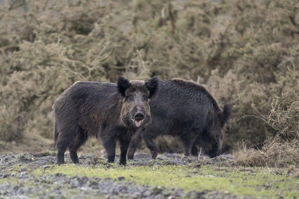 Feu vert pour la chasse au sanglier dans l'Aude, dès ce samedi 7 novembre 2020 malgré le confinement.