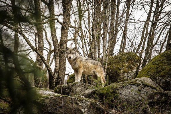 Les loups de Chabrières guettent le retour des visiteurs