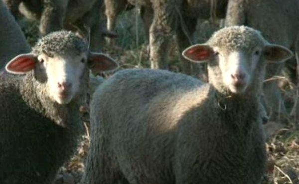 S'occuper d'un troupeau de moutons, un vrai choix de vie
