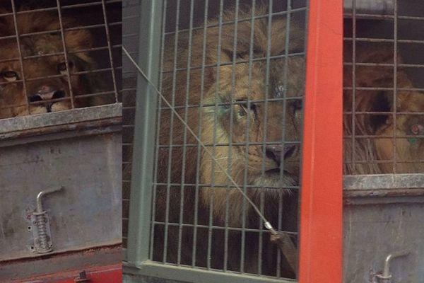 One Voice combat pour qu'Elyo, le lion du cirque Buffalo, ne soit plus en cage