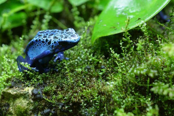 """La """"dendrobates azureus"""" se pare d'un bleu vif afin de rappeler à ses prédateurs qu'elle est mortelle."""