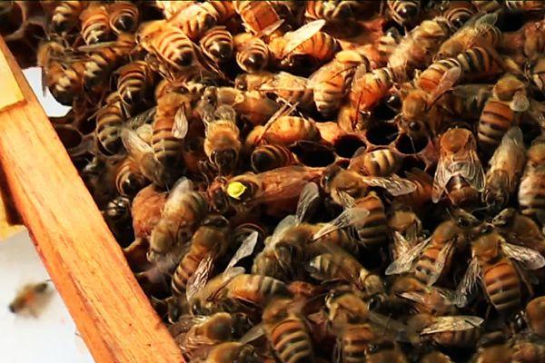 La sélection des reines sert à améliorer les espèces pour les rendre plus résistantes
