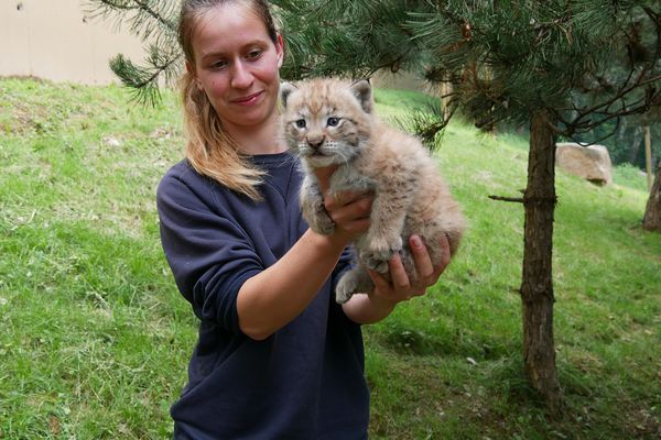 Ayzac-Ost (Hautes-Pyrénées) - Le bébé lynx devrait se voir attribuer un nom dans les prochains jours. 2021.