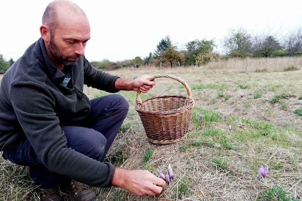 Alain Gaillard récolte les fleurs de safran une par une dans un de ses champs.
