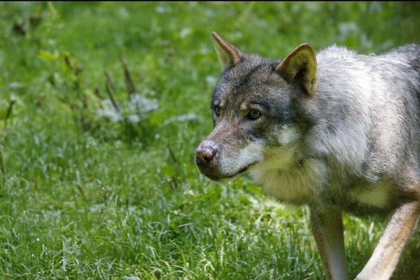 Illustration : loup du parc animalier ALPHA, situé dans le massif du Mercantour.