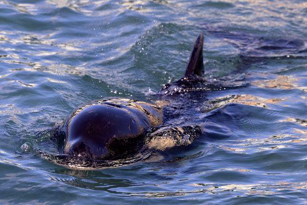 Depuis 2020, 122 interactions entre les orques et les bateaux ont été répertoriées.