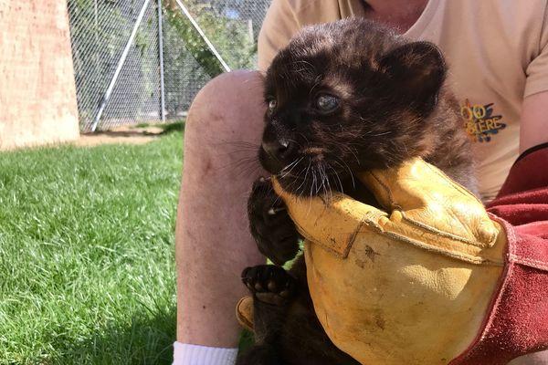 Le bébé panthère noire a eu un mois ce mercredi 13 août.