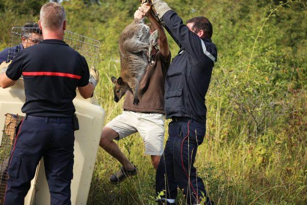 Mercredi 19 août, les sapeurs-pompiers de Montluçon sont intervenus pour capturer un Wallaby de Benett.