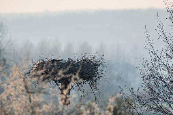 Les cigognes se sont blotties dans leur nid ce weekend dans les Ardennes pour lutter contre le froid