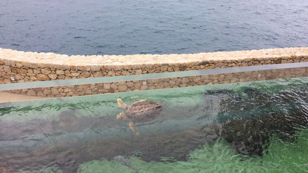 """Tortue caouanne """"Carreta Carreta"""", espèce la plus commune en Méditerranée."""