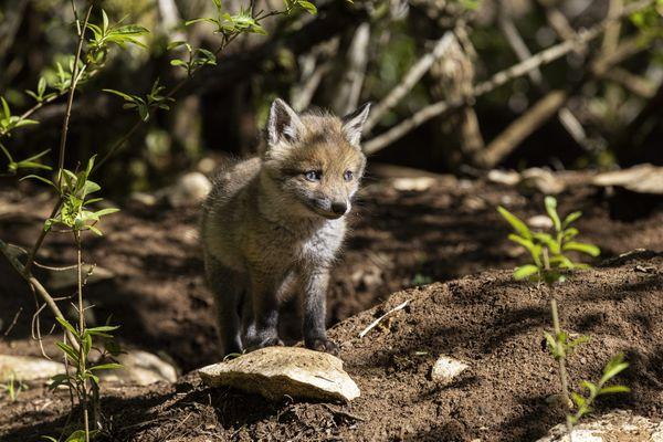 Entre 500 000 et 600 000 renards sont tués chaque année en France.