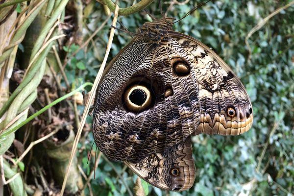 Papillon hibou. La grange aux papillons, Virelles (Belgique)