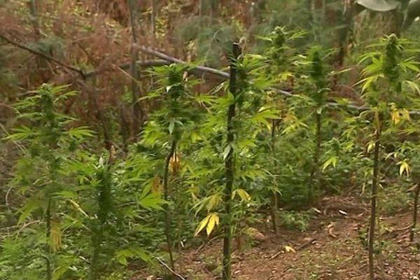 Des plants de cannabis ont été découverts dans des jardins de la Collectivité de Corse à Ajaccio.