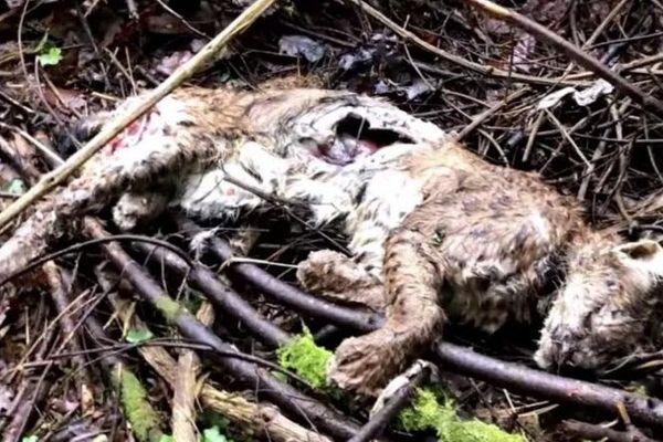 Ce lynx a été tué par un fusil de chasse fin décembre près de Quingey dans le Doubs.