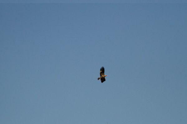 L'aigle impérial photographié dans le ciel de Brettes (Charente) le 15 avril dernier.