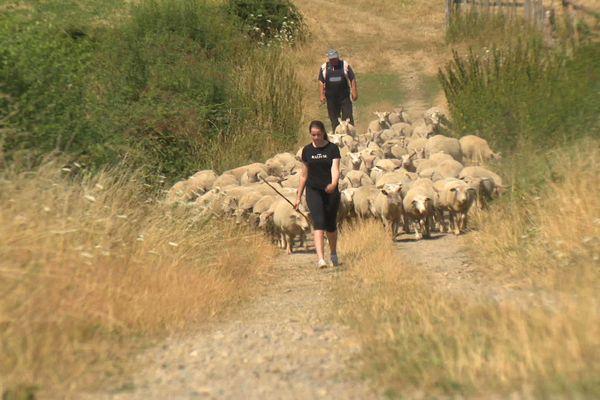 Les troupeaux commencent à manquer d'herbe.