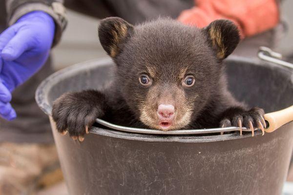 Les oursons sont nés le 1er février dernier