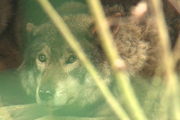Créé en 2007, le Sanctuaire des Loups ne reçoit aucune subvention publique.