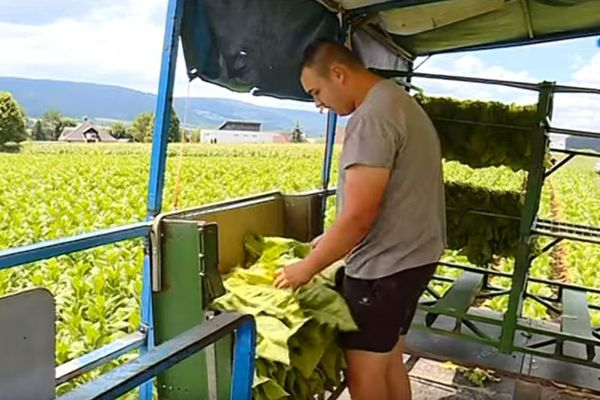 Romain, un saisonnier franc-comtois, ramasse le tabac en Suisse.
