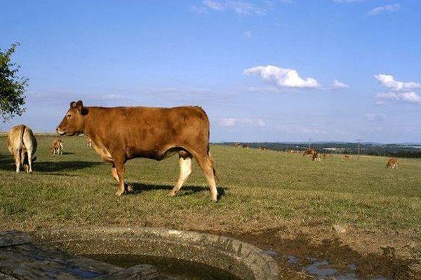 Une vache limousine peut consommer jusqu'à 120 litres d'eau par jour.