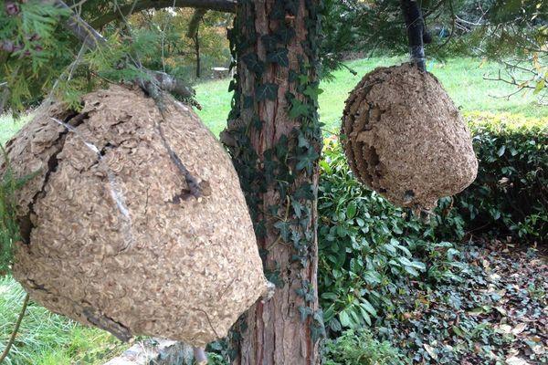 Deux nouveaux nids de frelons asiatiques ont été découverts en novembre 2014 à Montluçon dans l'Allier. L'un d'entre eux comptait plus de 2 500 insectes.