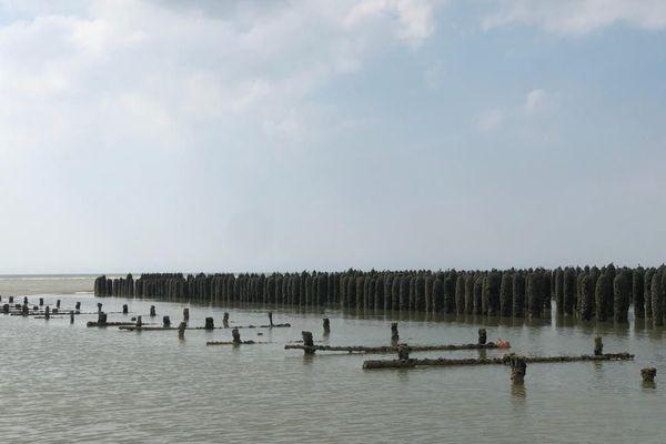 Il faut attendre la marée descendante pour pouvoir fixer les naissains sur les chantiers.