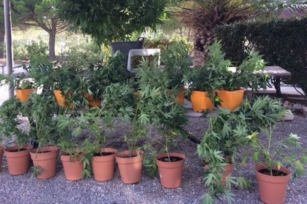 A Leucate, les gendarmes sont interpellés par une odeur suspecte alors qu'ils se trouvent en patrouille. Ils découvrent alors plusieurs serres de cannabis.