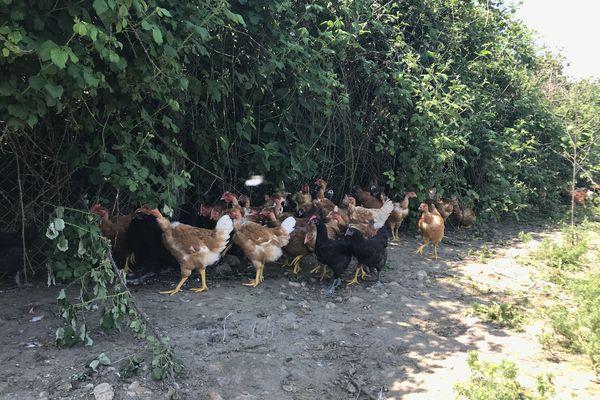 La géline de Touraine et les poulets cou nu pattes jaunes élevés par Adèle Champdavoine à la Ferme du Couêtron.