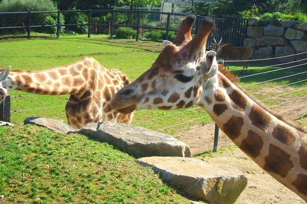 Des girafes au zoo de Pont-Scorff - 2007