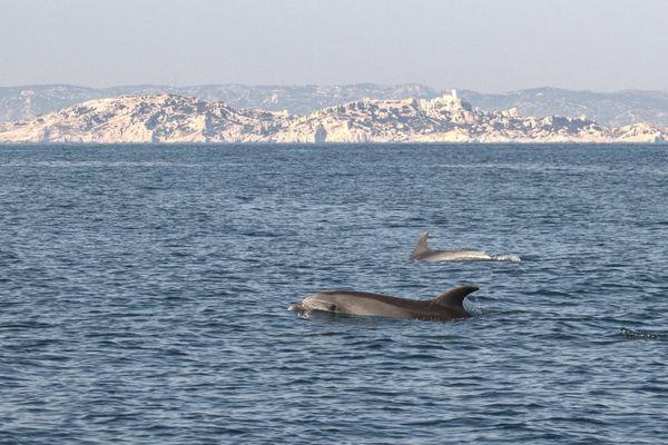 Le parc national des calanques, à cheval sur mer et sur terre, est un espace privilégié pour le passage de nombreuses espèces (ici, des dauphins, photographiés en mars 2020).