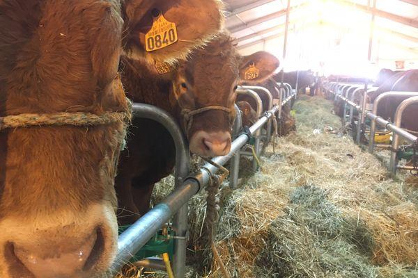 Les Journées de la vache limousine se tiennent jusqu'à ce soir, 18 octobre, au Champ de Juillet à Limoges.