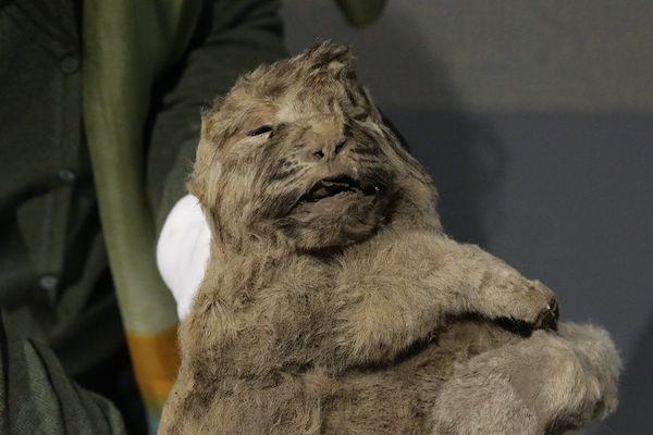 Une momie de lionceau congelé de 46500 ans congelée est arrivée à la caverne du pont d'Arc pour rejoindre l'exposition des lions et des hommes.
