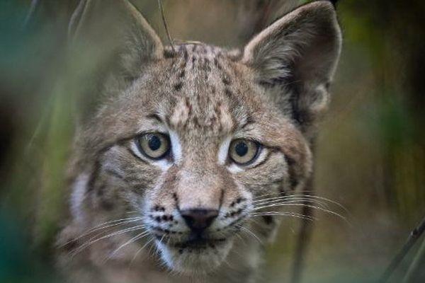 Un lynx - illustration