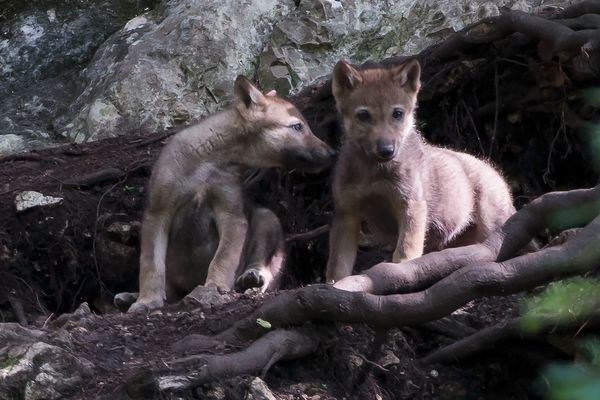 Bienvenue en Suisse les p'tits loups !