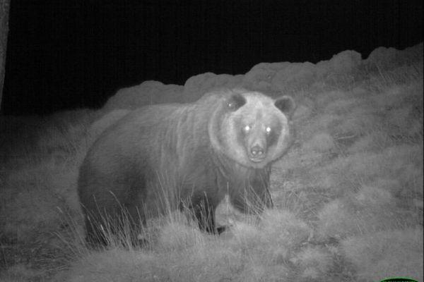 L'ourse photographiée (octobre 2019) par l'une des caméras automatiques installées pour le suivie et la surveillance de l'ours dans les Pyrénées.