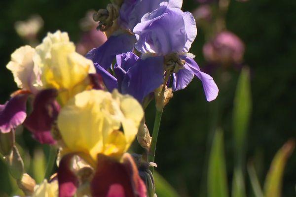 Les jardins de Brocéliande (35) sont devenus conservatoire français de l'iris avec 1000 variétés.
