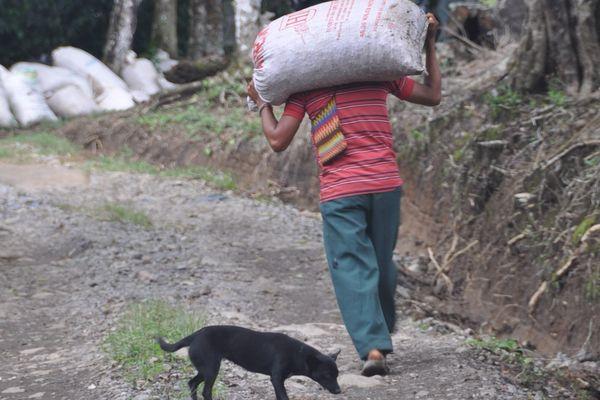 Enfant travaillant dans le café au Panama