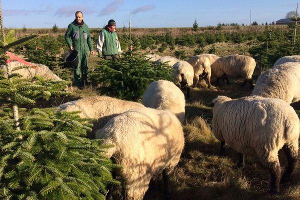 """Des moutons de la race """"Shropshire"""" pour nettoyer une plantation de conifères. C'est la méthode naturelle employée par un couple d'agriculteurs à Orrouer en Eure-et-Loir - 10 décembre 2018"""