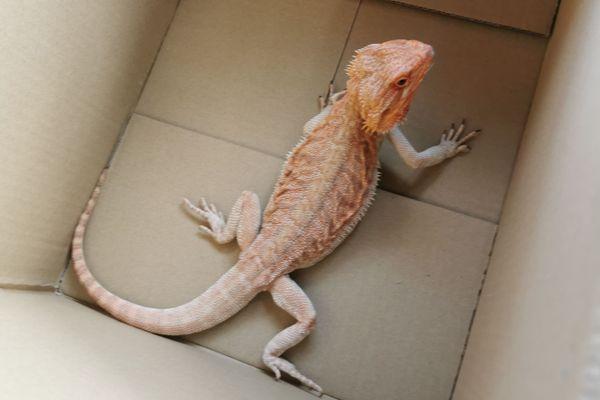 "Le Pogona, ou ""dragon barbu"", est un petit reptile facile à se procurer en animalerie"