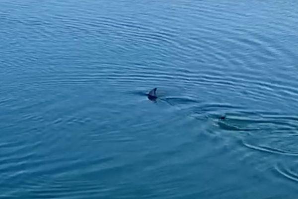Le lancier, ou marlin de Méditerranée, vu ce jeudi après-midi dans le port de Saint-Tropez