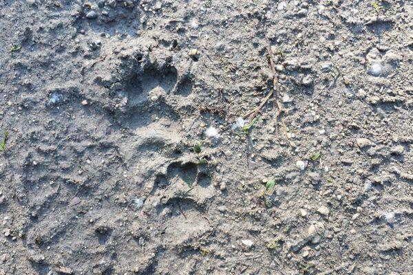 Les empreintes de blaireaux ressemblent à celle de l'ours, mais en plus petits