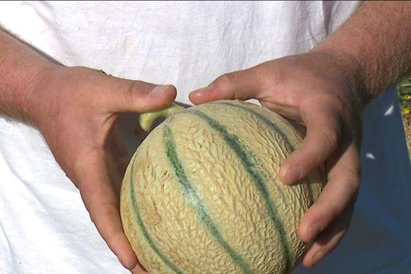 La récolte des melons du Quercy