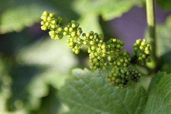 La floraison de la vigne est de plus en plus précoce