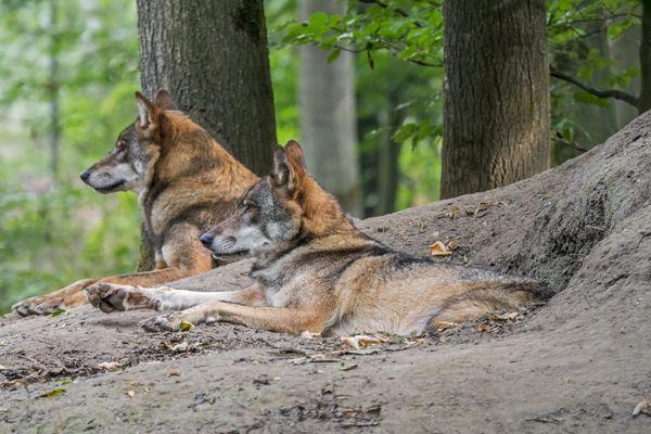 Des loups se sont echappés de leur enclos au sein du parc animalier Ecozonia